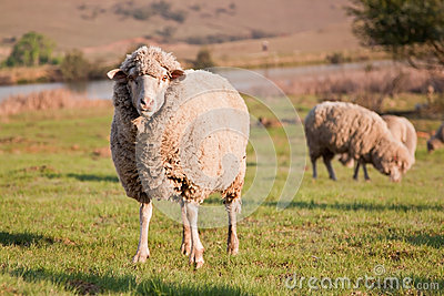 One sheep staring while the flock is feeding