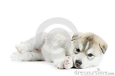 One Siberian husky puppy