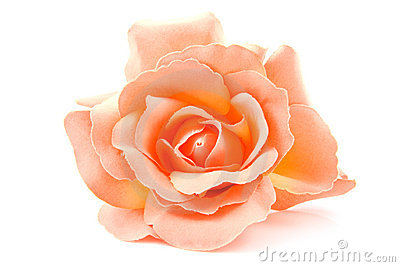 One silk orange rose