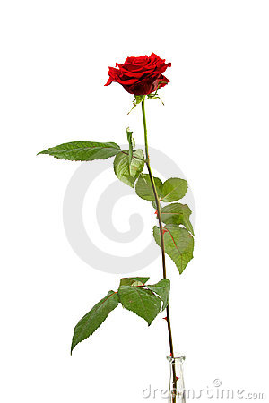 Free One Single Red Rose Royalty Free Stock Photos - 12692388
