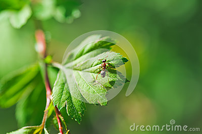 One small ants clamber on plant leaf. Macro photo