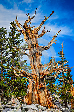 Free One Tree - Bristlecone Pine Grove Trail - Great Basin National P Stock Photos - 87629443