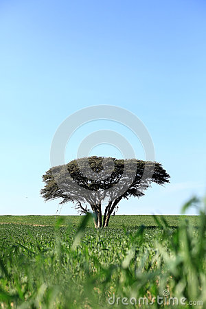 One tree in a field