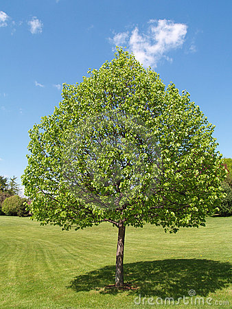 One tree with leaves by a green lawn