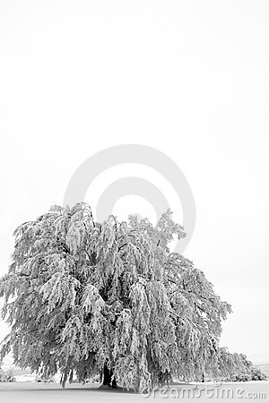 One tree in winter