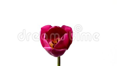 Tulip blossoms timelapse. One tulip blossoms timelapse white background stock video footage