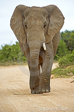 One Tusk Elephant