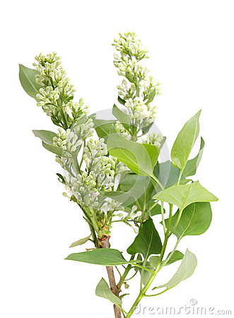 One vertical branch of white lilac