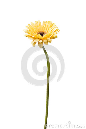 Free One Vibrant Bright Yellow Gerbera Daisy Flower Blooming Stock Photo - 85675300