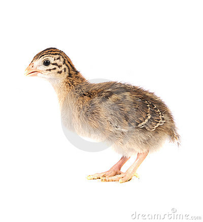 Free One Week Old Guinea Fowl Keet Standing Profile Stock Photos - 20105533