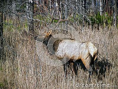 One Wet Bull Elk