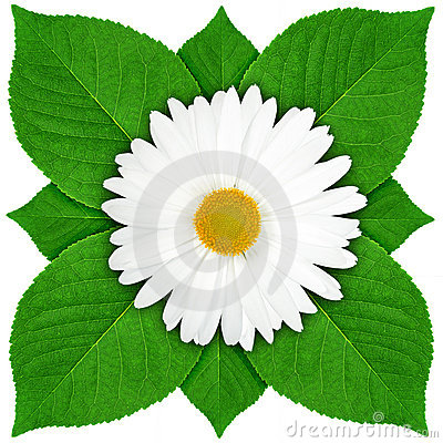 One white flower with green leaf