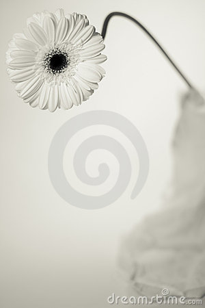 One White Gerbera