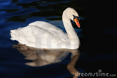 One white swan