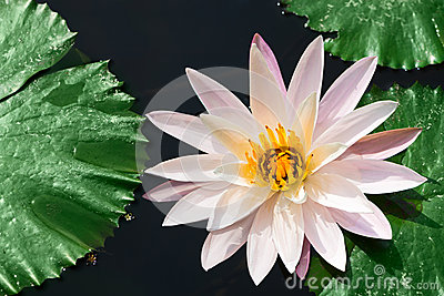 One white water lily