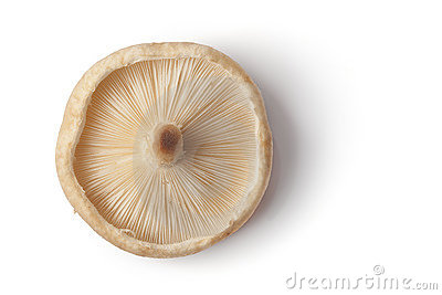 One whole fresh single shiitake mushroom