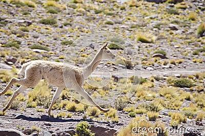 One Wild Vicunas Running