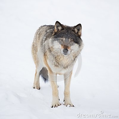 One Wolf Alone in the Snow