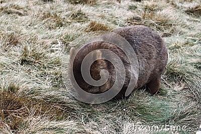 One wombat