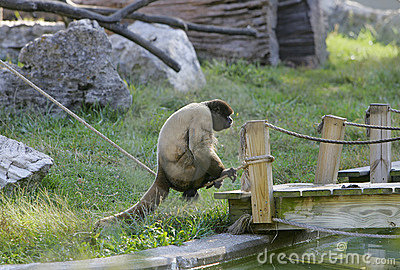 One woolly monkey