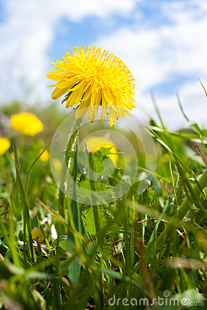 Free One Yellow Dandelion On Cloudy Sky Background. Stock Photos - 91874043