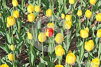 One yellow-red tulip among yellow tulips set