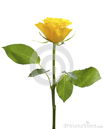One yellow rose isolated