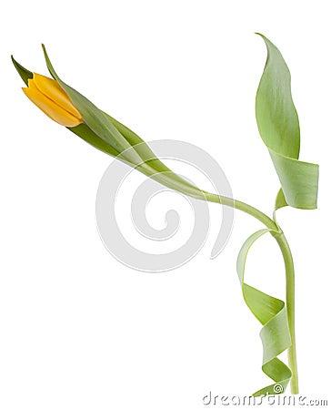 One yellow tulip
