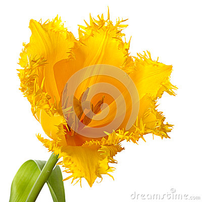 Free One Yellow Tulip Stock Photography - 37153292