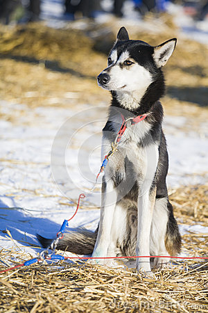 One young husky dog resting