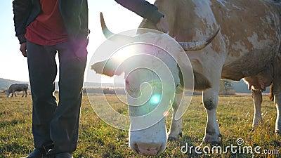 Onherkenbare boer die zijn koe in aanraking brengt en beroert Vriendelijk dier geniet van menselijke zorg Landbouwconcept Langzaa stock footage