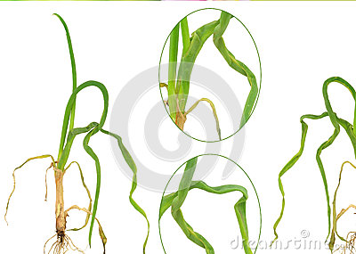 Onion attacked by onion eelworm ditylenchus dipsaci stock images