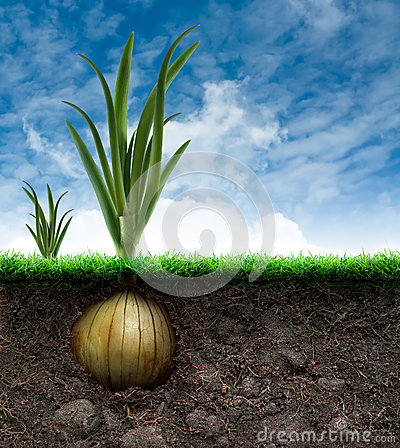 Onion Bulb and Grass in Blue sky
