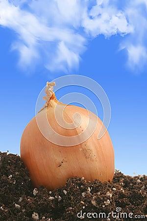 Onion on dirt