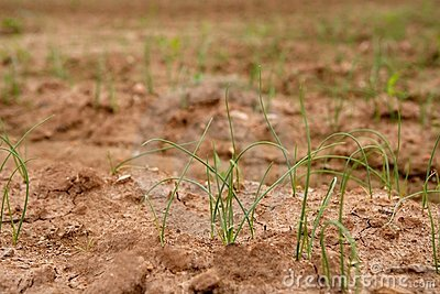 Onion, garlic sprouts  red soil field