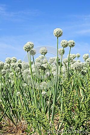 Onion seed flowering