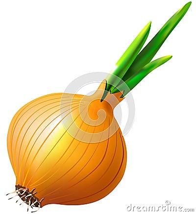 Onion vegetable