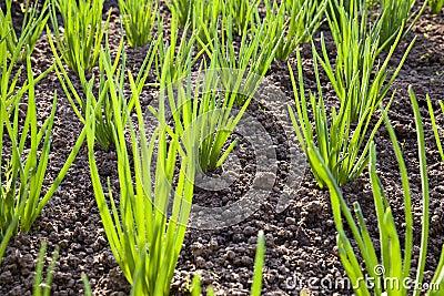 Onions field
