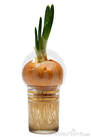 Onions in a glass