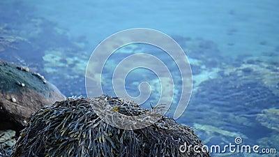 Ontruim en kalmeer de blauwe achtergrond van de fjordoppervlakte met zeewier behandelde kei op kust stock videobeelden