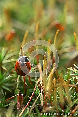 Onzelieveheersbeestje op mos