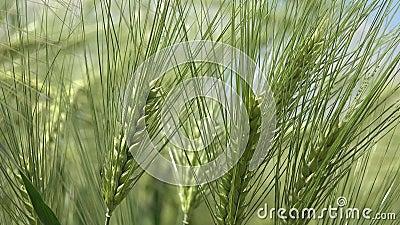 4.000 oogsten in zonnebrand, de landbouw, zonnestraal in granen, landbouwgraan, landbouwkorrels stock video