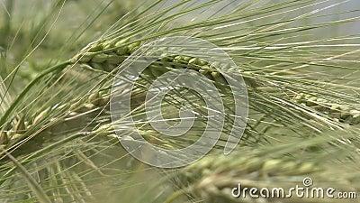 4.000 oogsten in zonnebrand, de landbouw, zonnestraal in granen, landbouwgraan, landbouwkorrels stock videobeelden