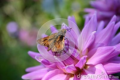 Ooh nektaru