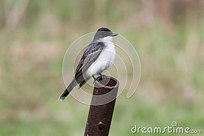 Oostelijke kingbird