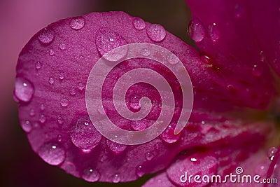 Opadowa kwiatu płatka woda
