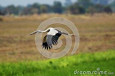 Open-billed Stork,Anastomus oscitans,Ciconiidae