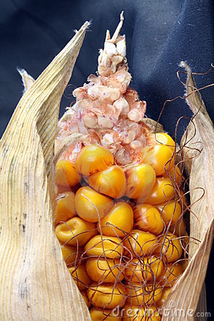 Open Corn/Maize Ear with Dark Background