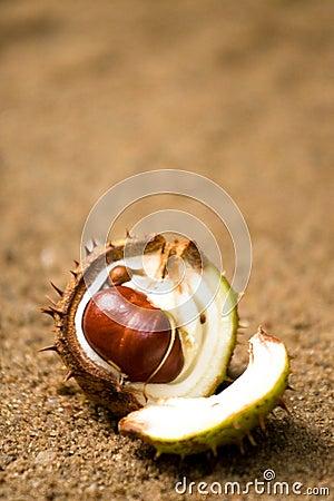 Open horse chestnut shell