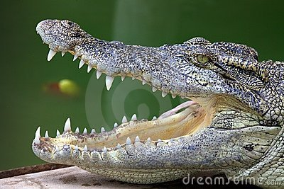 Open mouthed crocodile